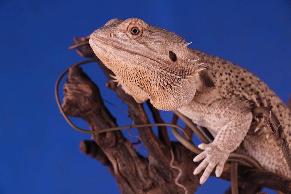 Bearded Dragon on top of brown cork bark