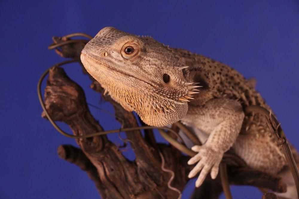 brown bearded dragon perch on tree branch