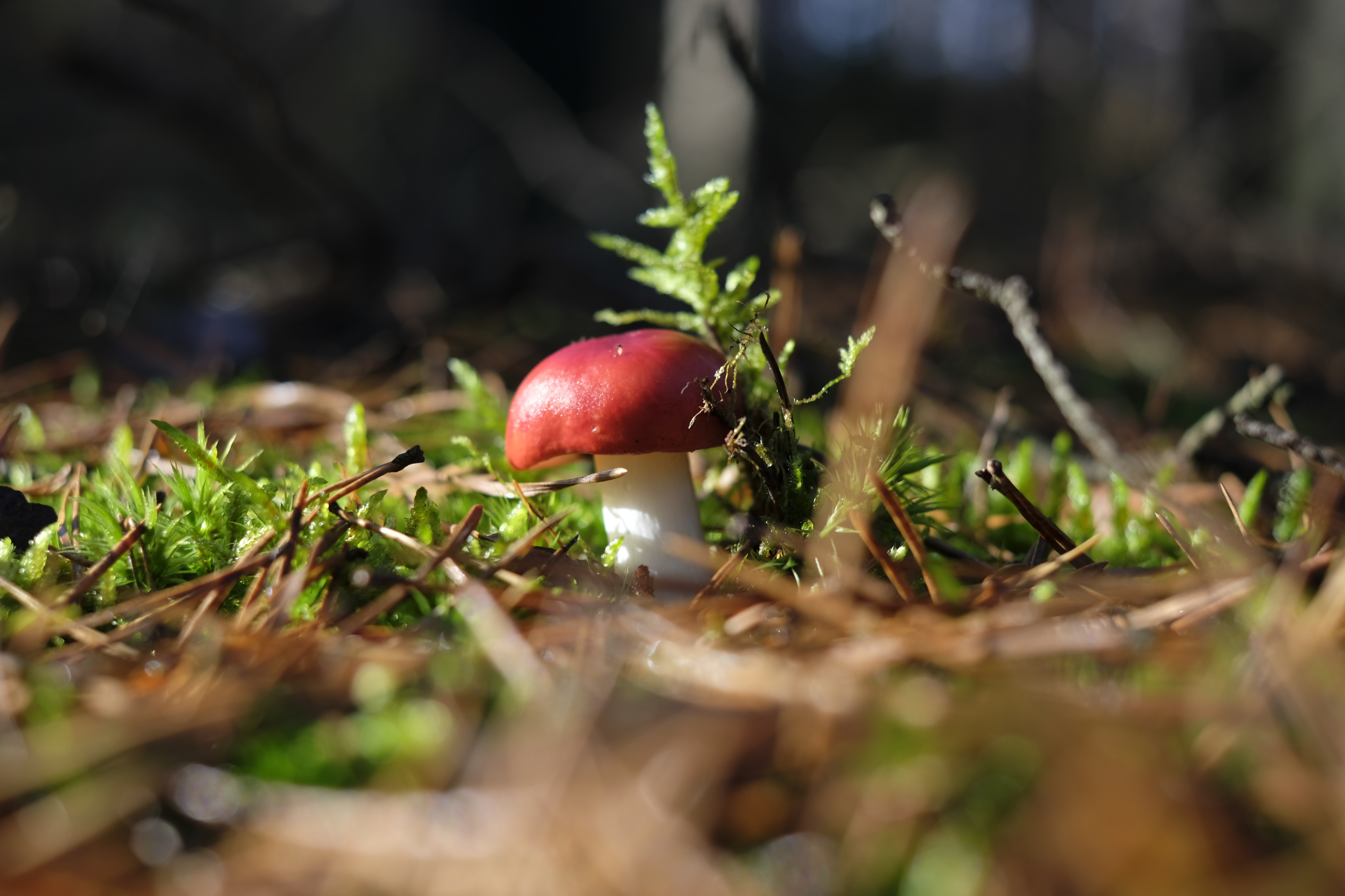 red and white mushroom on top brown soil