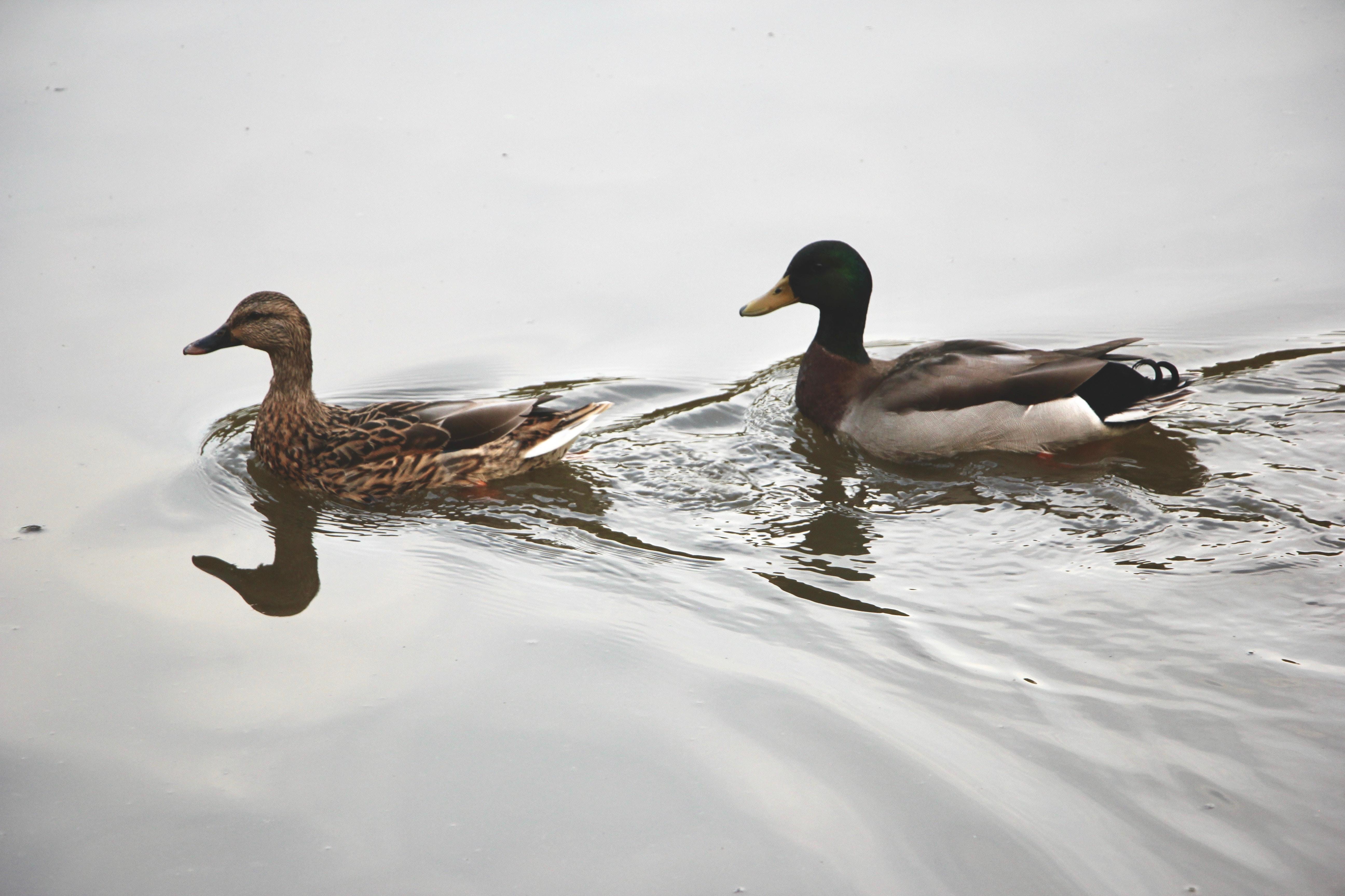 two mallard ducks on body of water