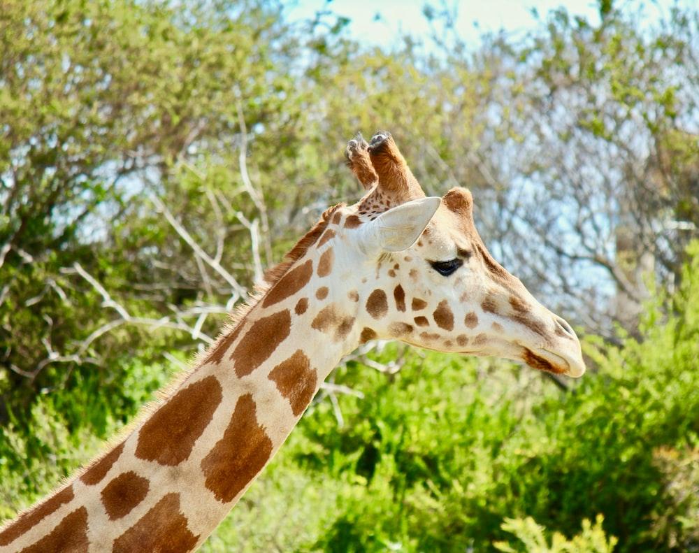 Giraffe inside forest