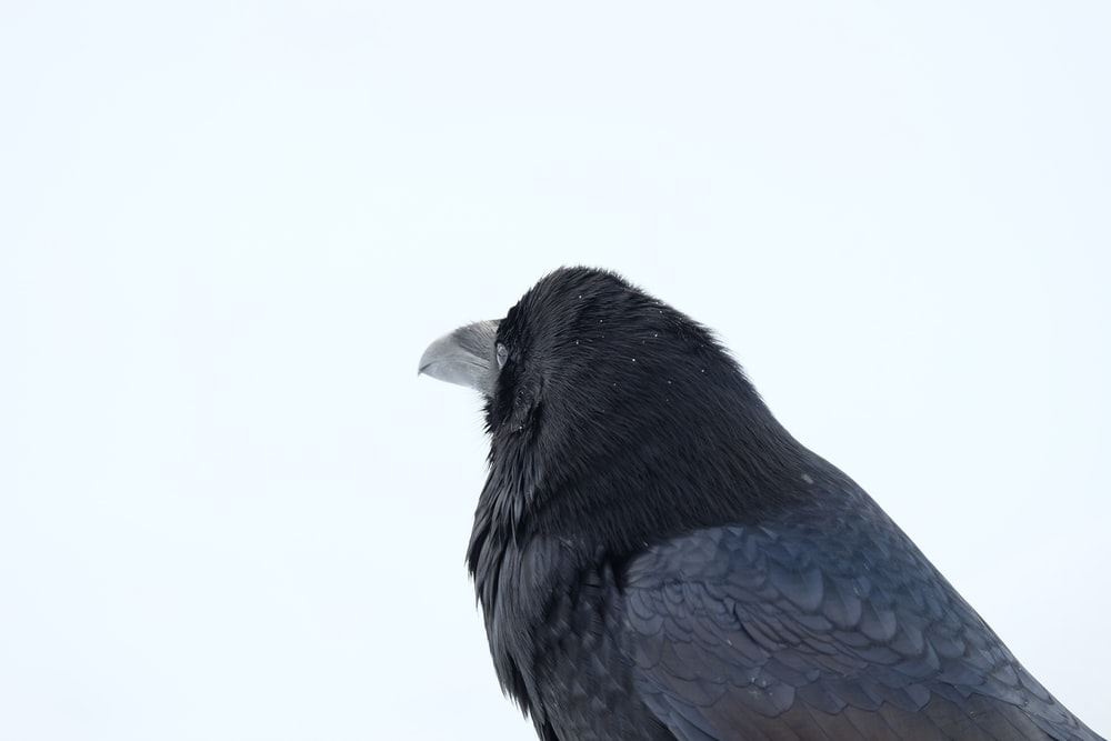 photography of crow