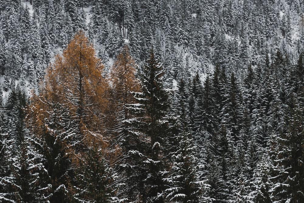pine trees field