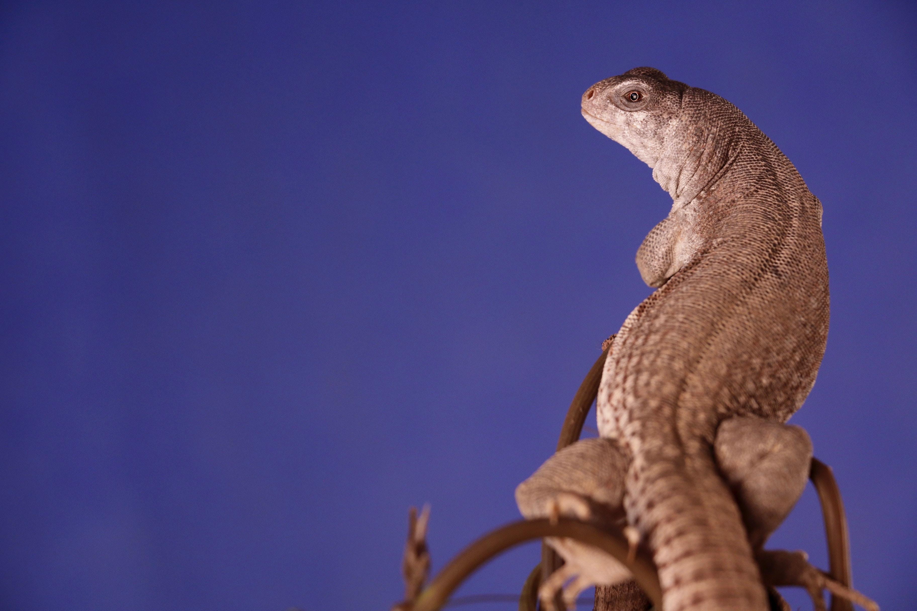 closeup photo of gray lizard