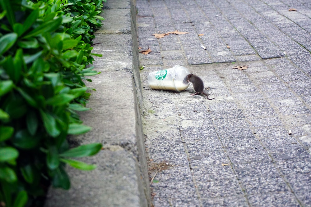 rat beside Starbucks plastic up