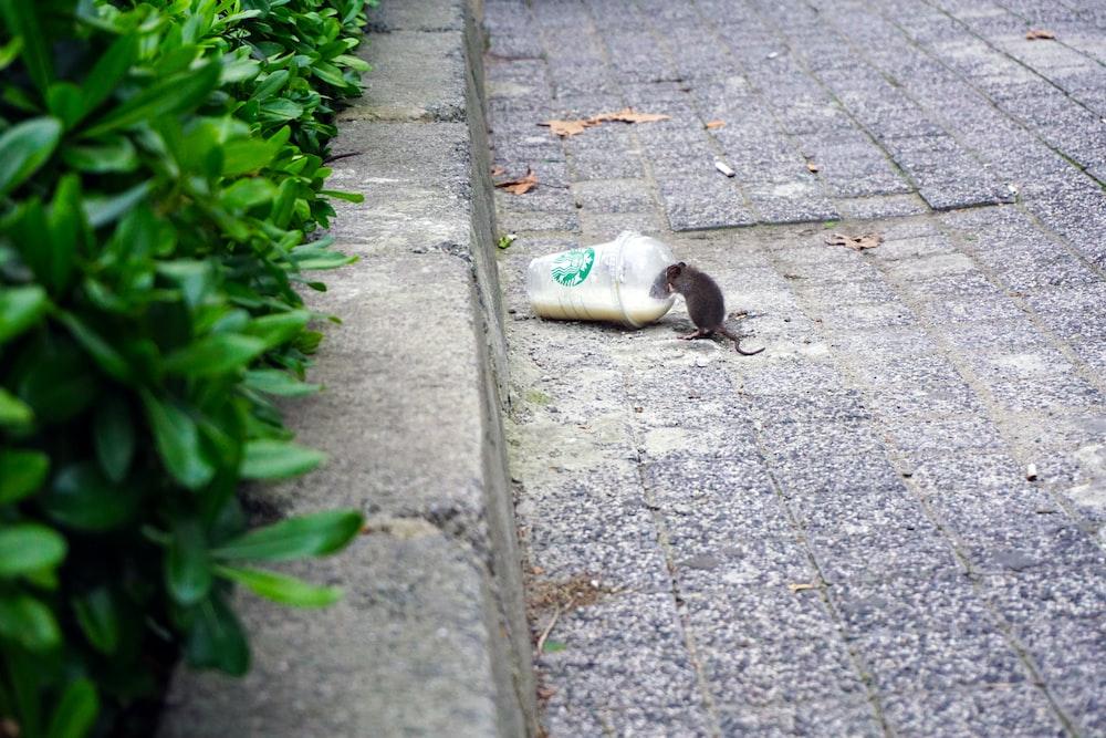rat beside Starbucks plastic up