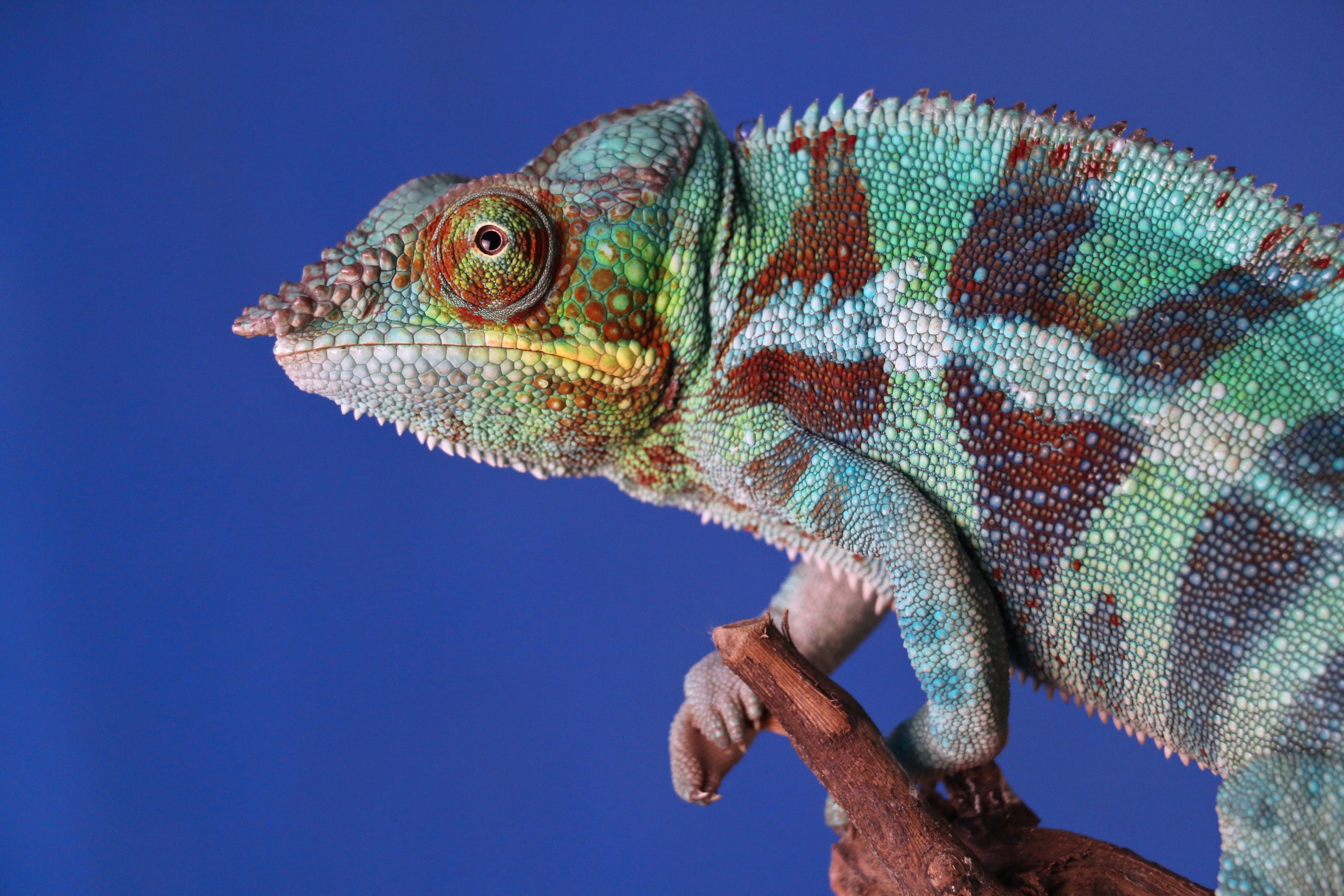 closeup photography of gray and brown chameleon