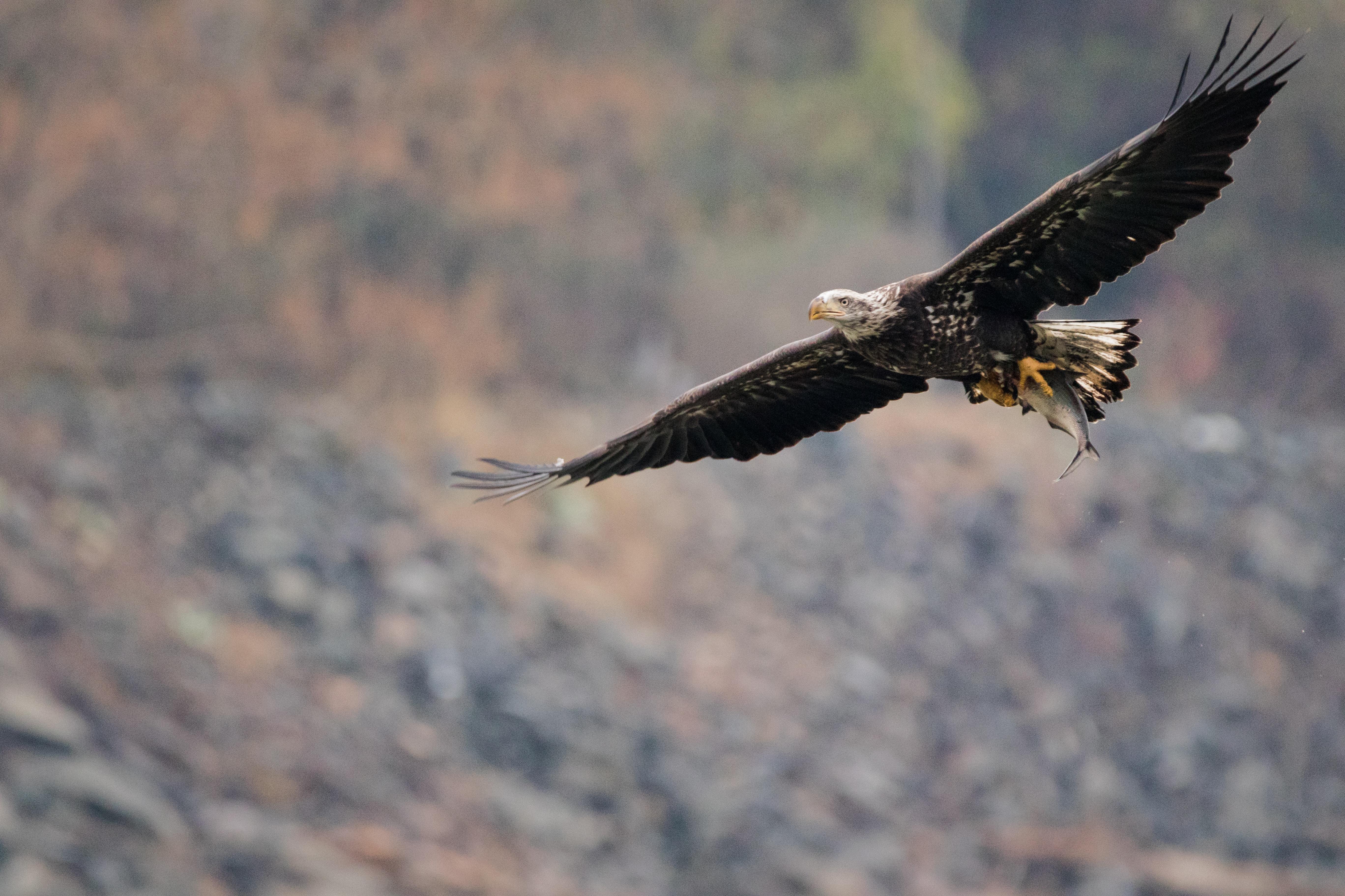 time lapse photo of bald eagle on flight
