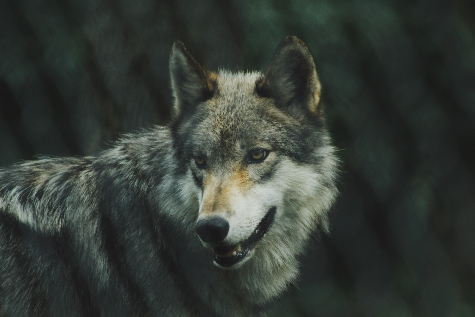 The Gray Wolf Leads the Way for Other Endangered Species