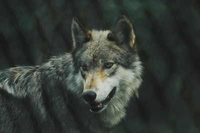 selective focus photography of gray wolf gray wolf zoom background