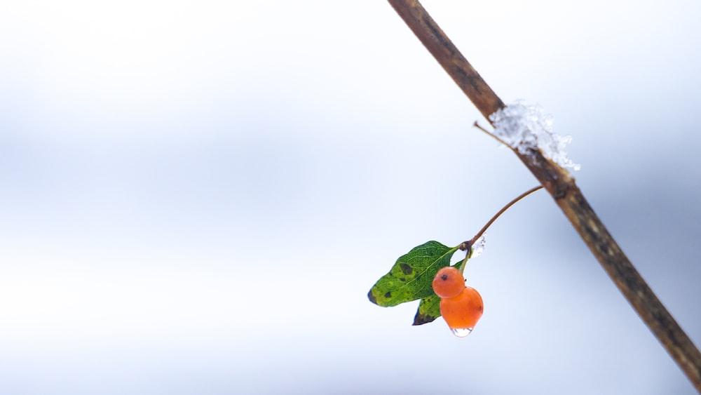 round orange fruits on tree