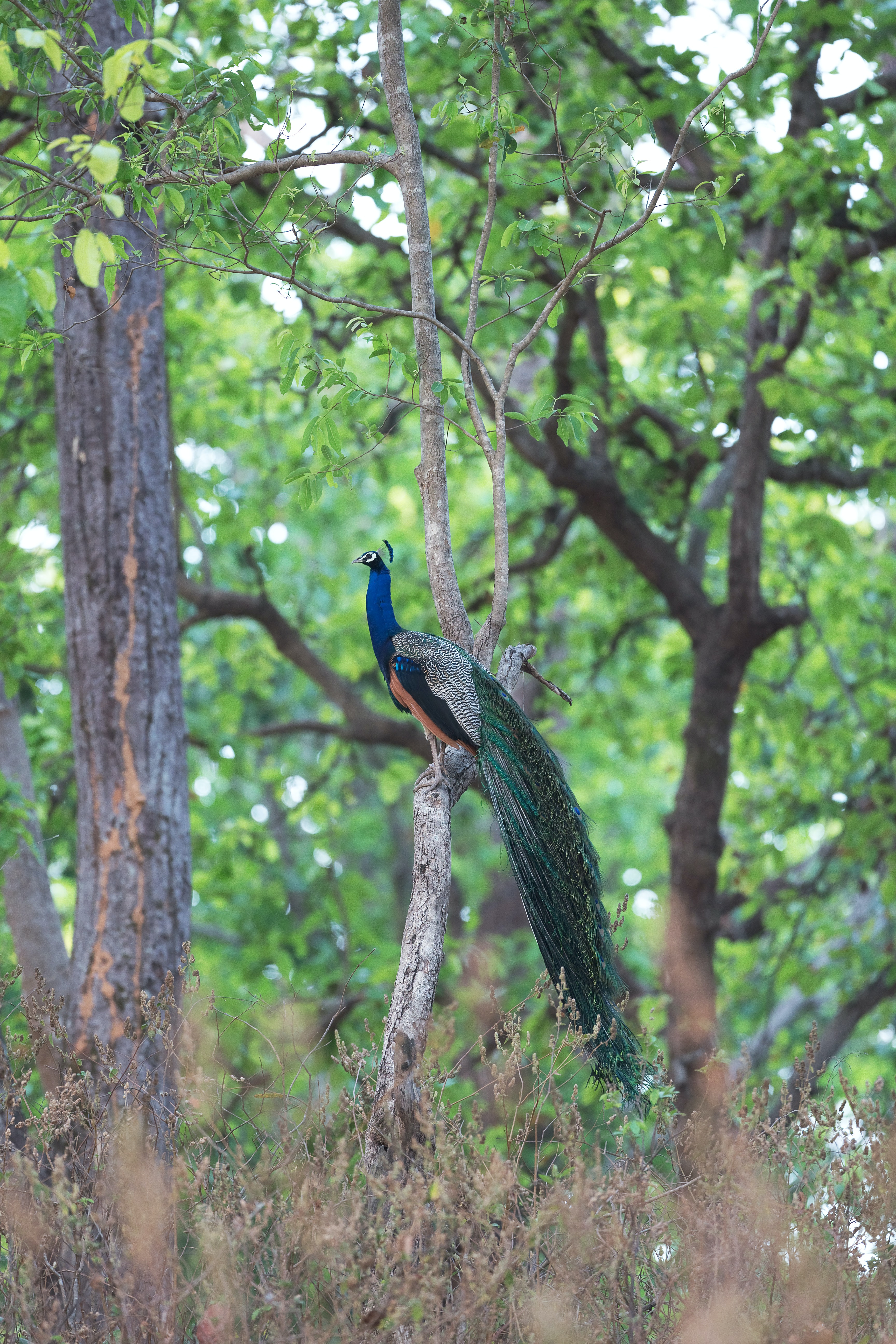 blue and green peacock on tree brunch