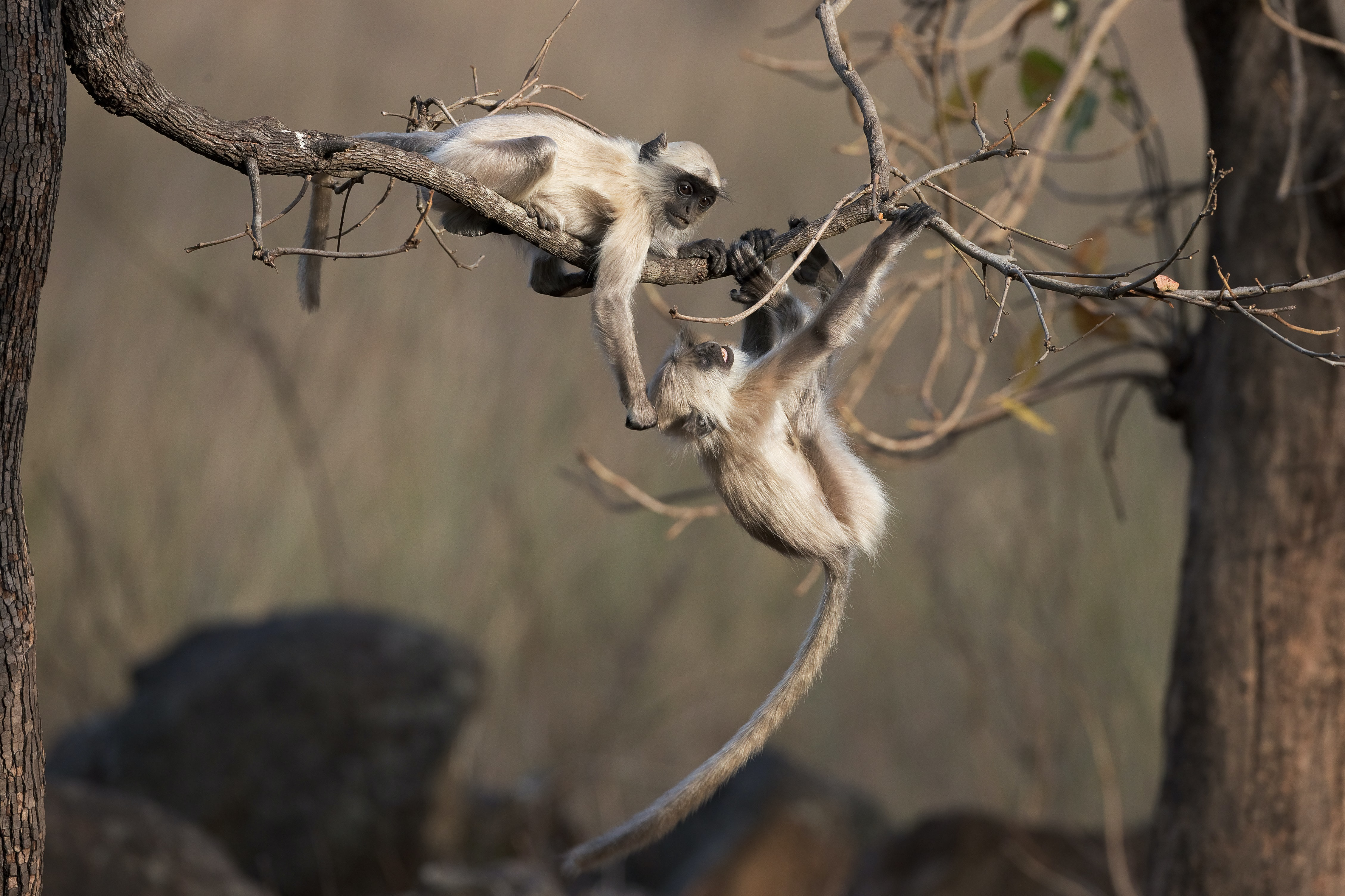 two monkey hanging on tree branches
