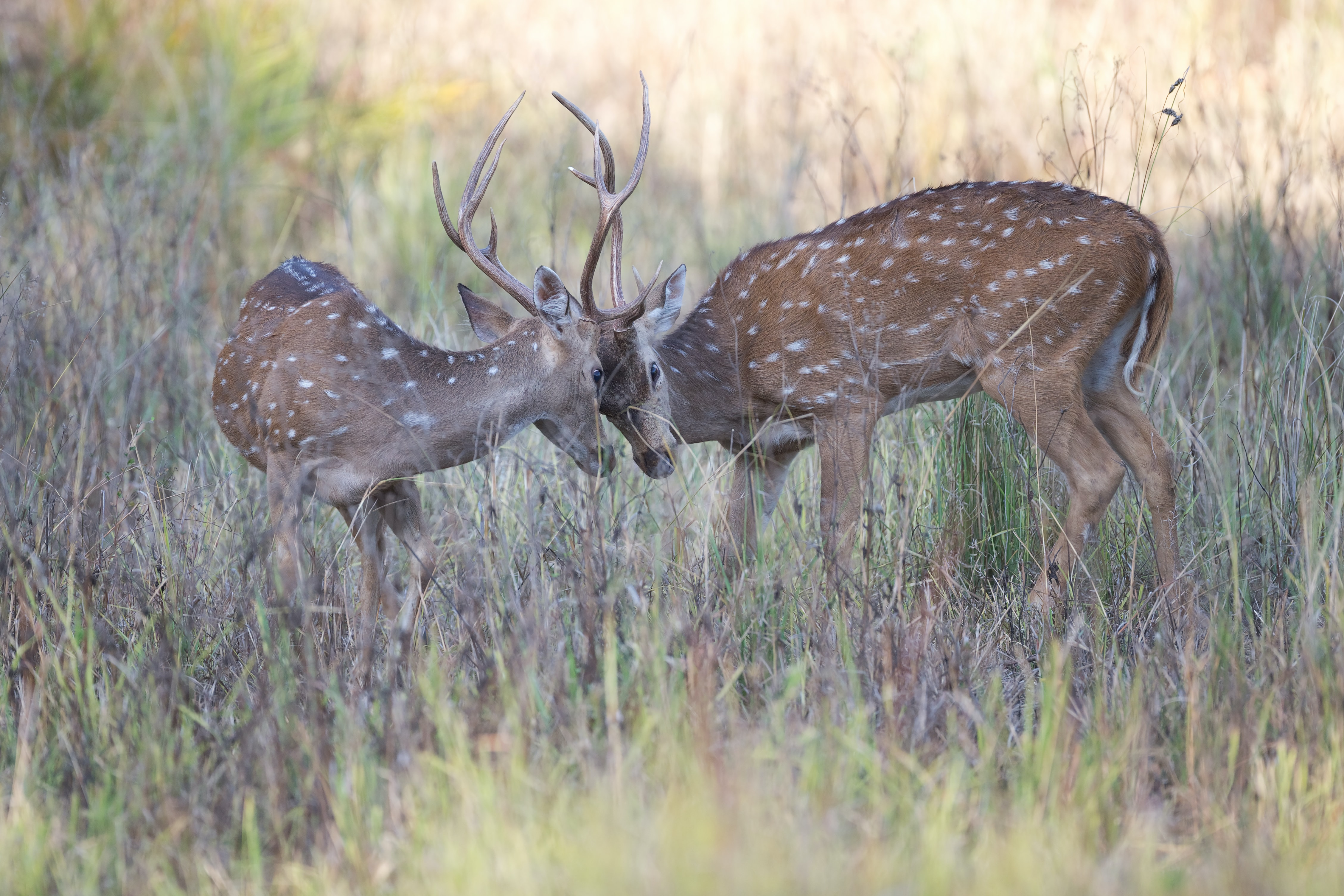 two stags clashing horns during daytime