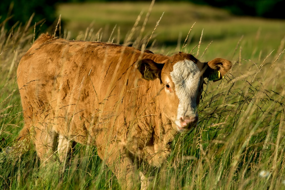 brown and white cattle on open filed