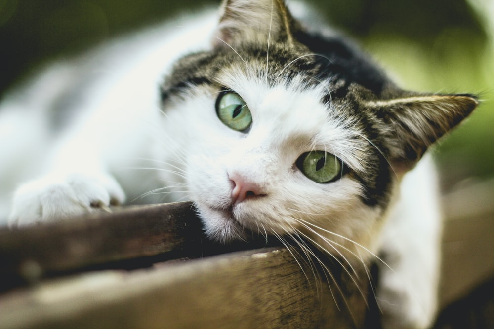 selective focus photography of silver tabby cat