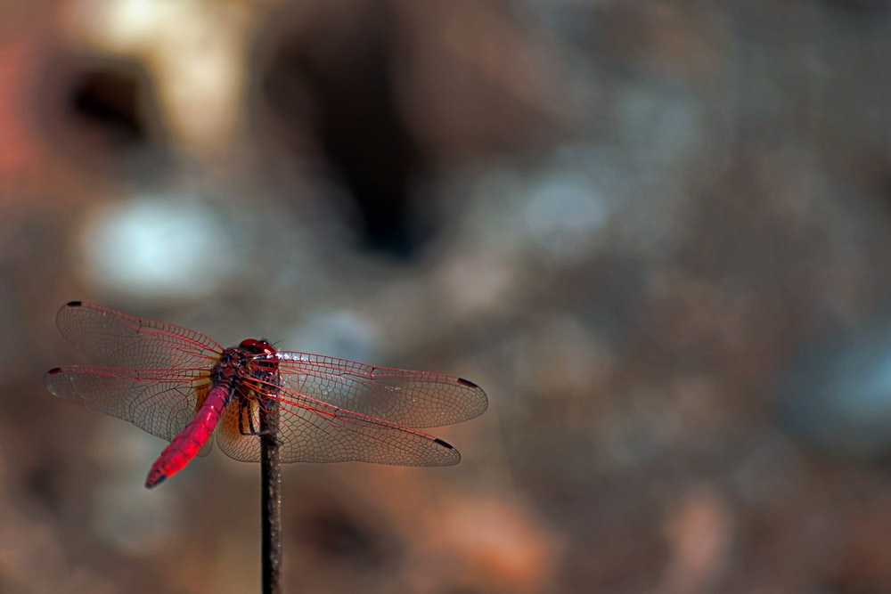 red dragonfly during daytime