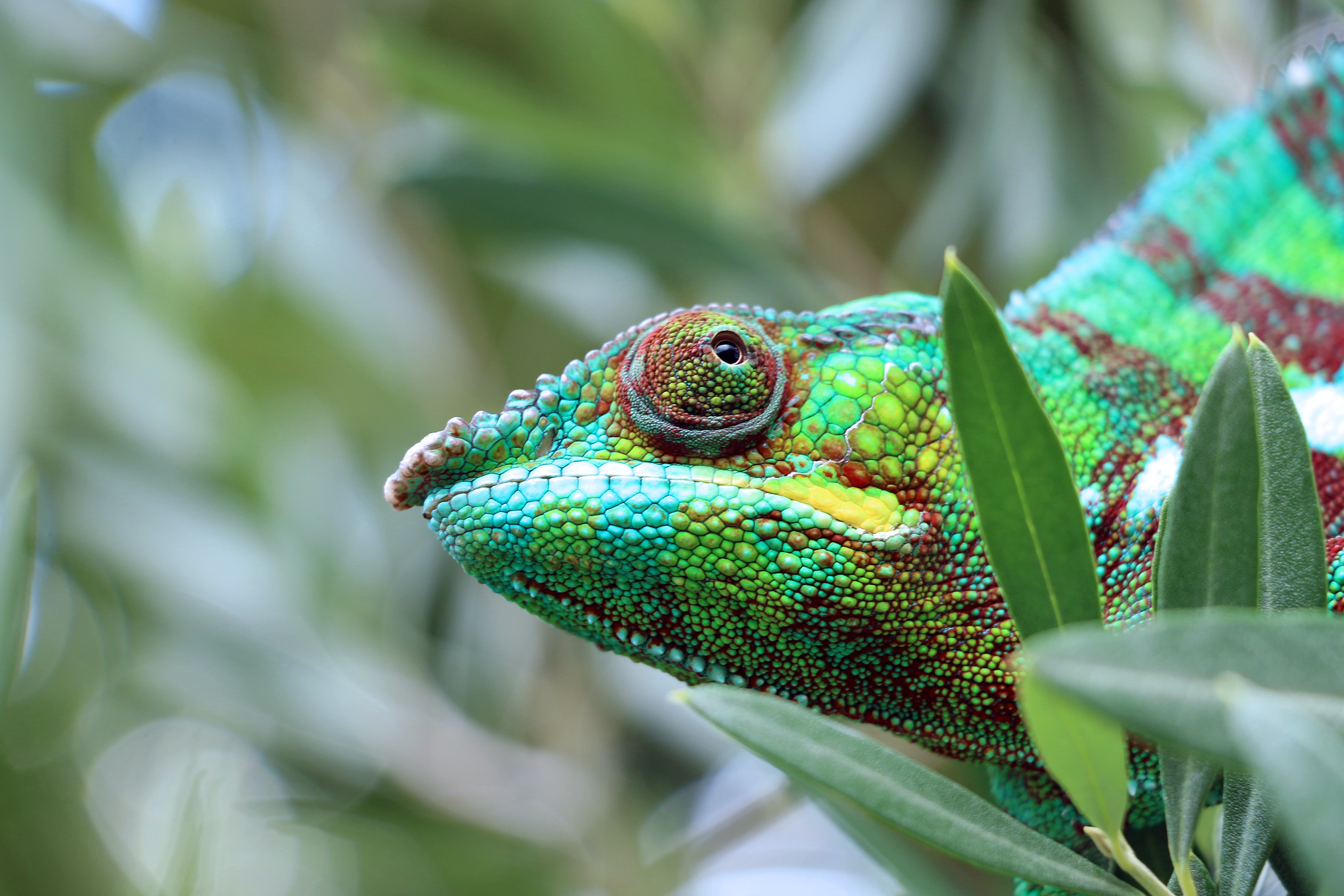 depth of field photography of chameleon