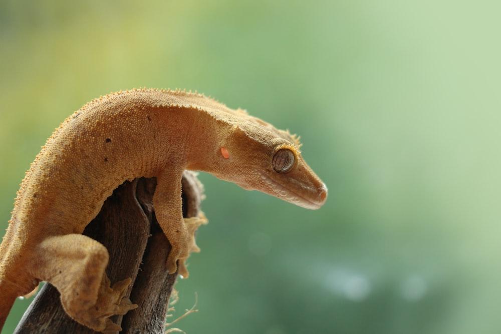 focused photo of a brown lizard