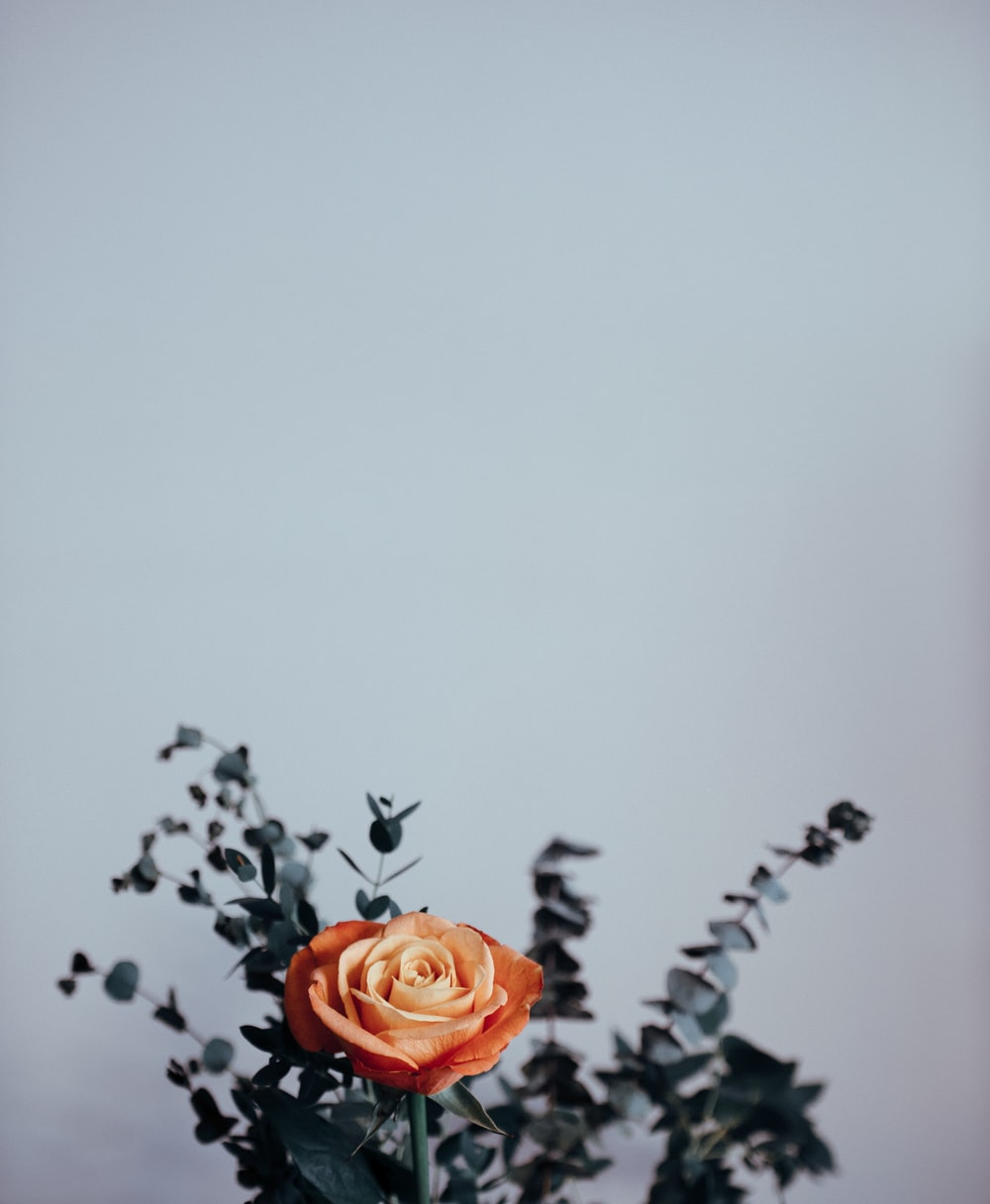 beige rose flower