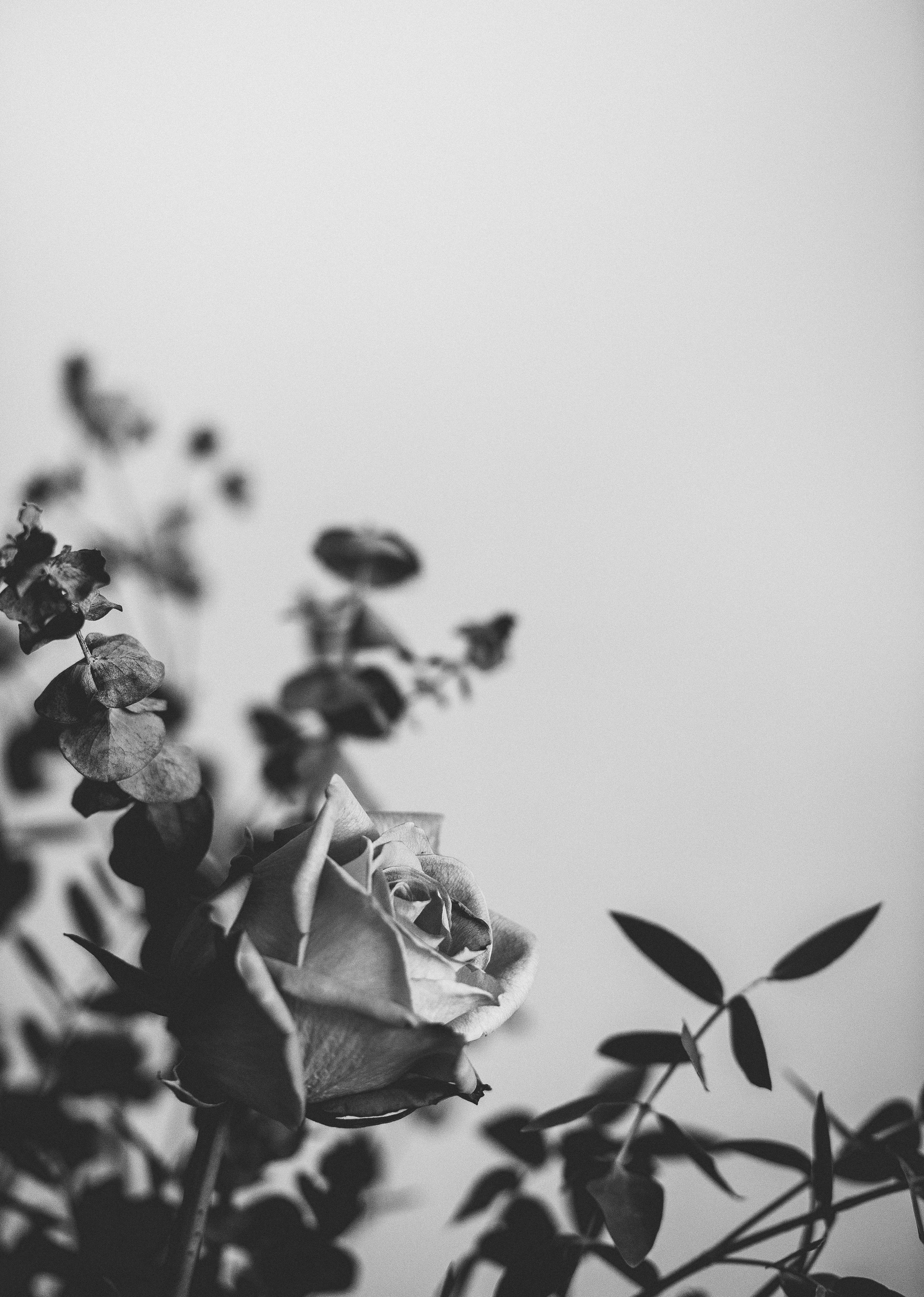gray scale photo of rose flower