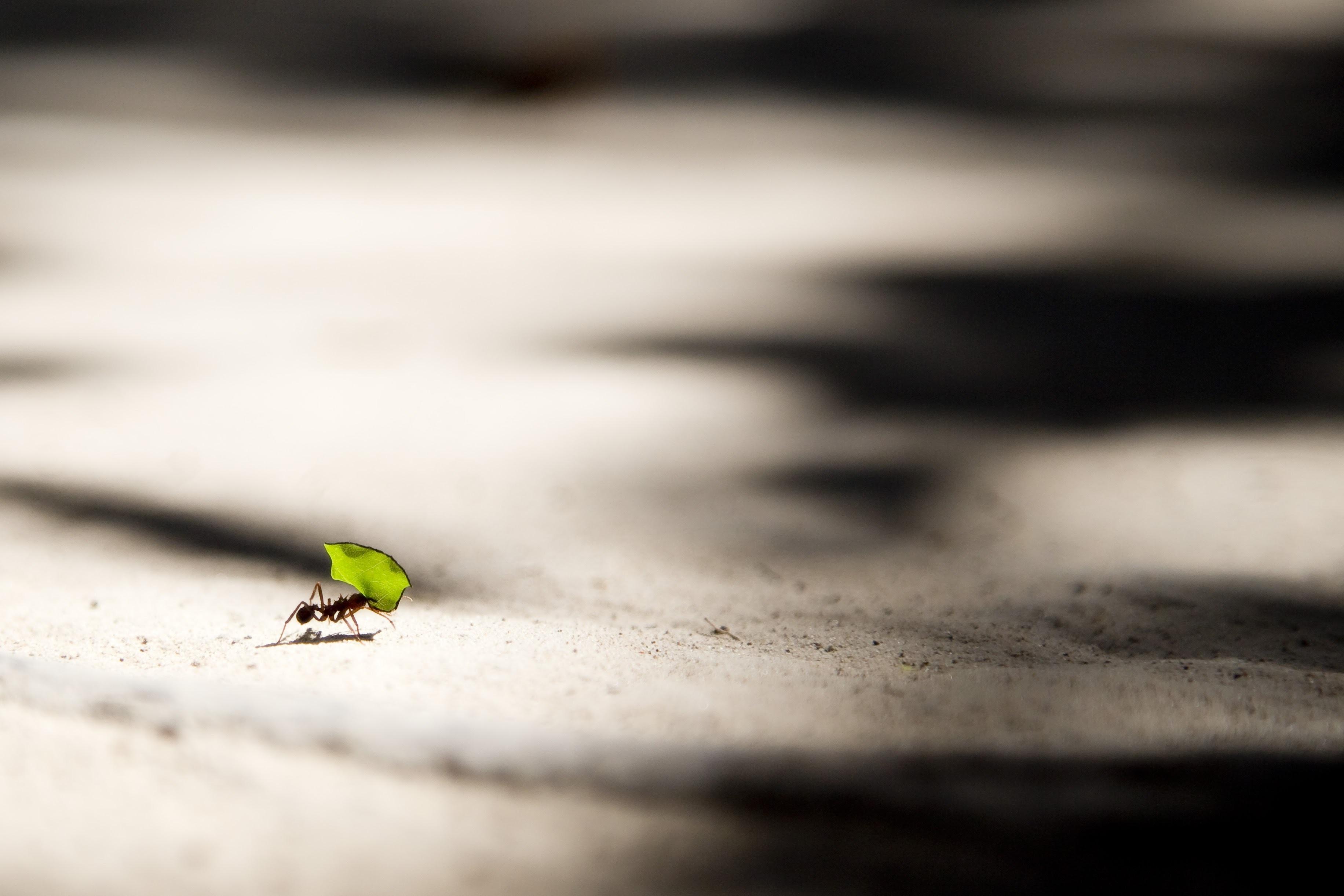 Semut Termasuk Hama Serangga