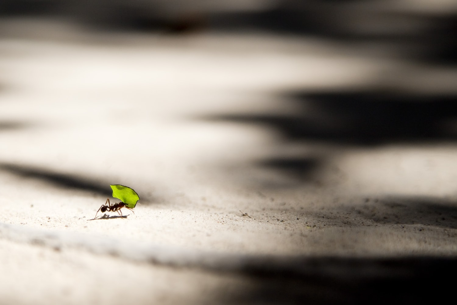 ant carrying green piece of food