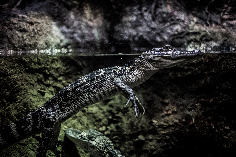 crocodile soaked in water wallpaper