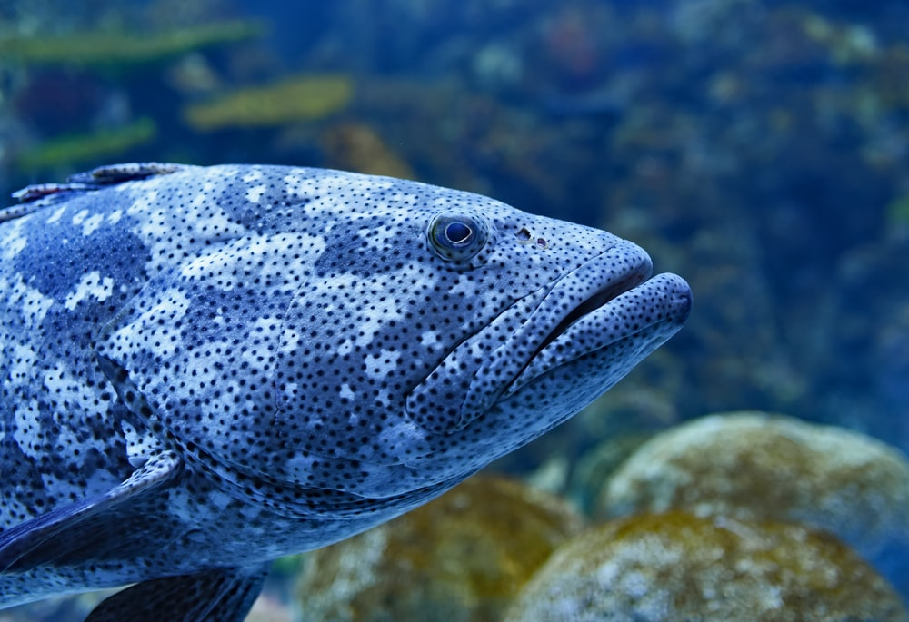 macro photography of gray grouper fish