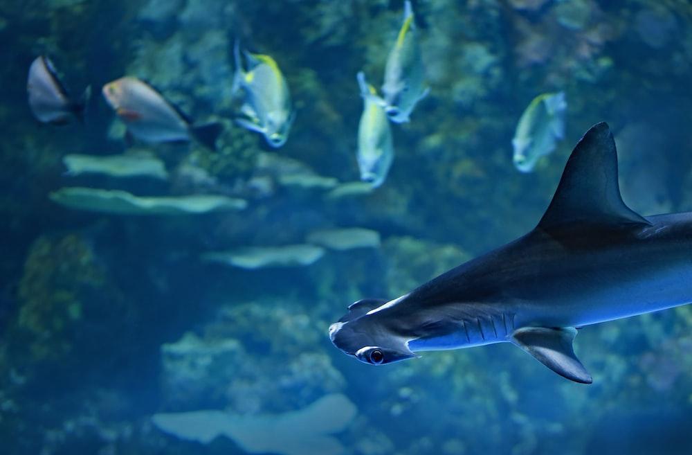 gray shark