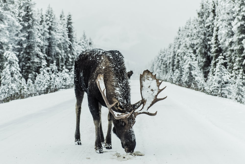 brown moose surrounded by snowfield
