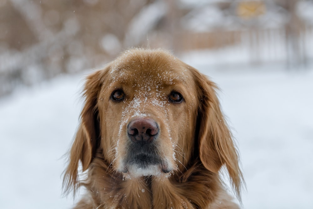 short-coated brown dog outside