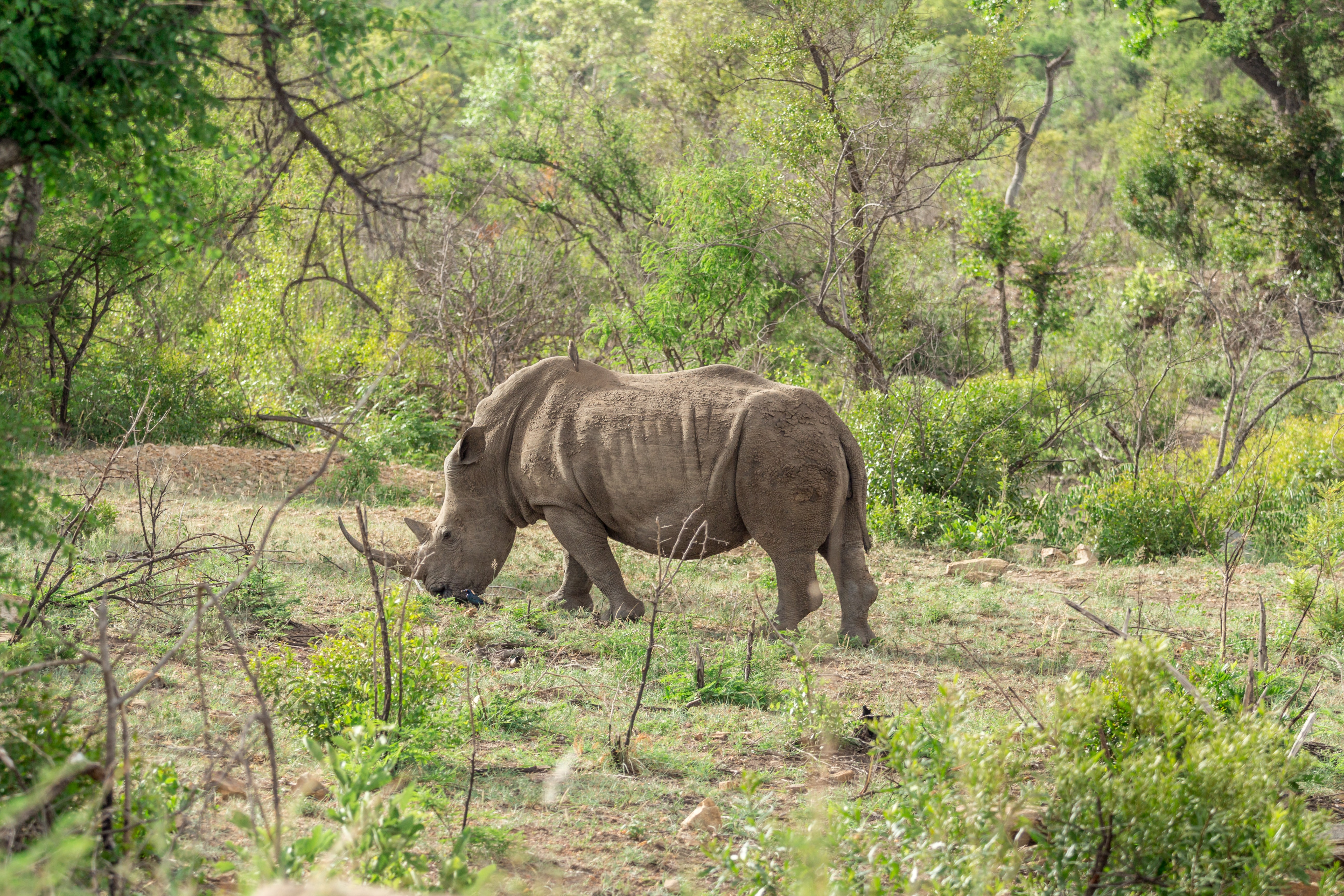 brown rhino eating grass