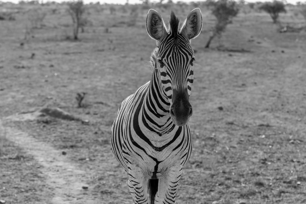 zebra standing near tree