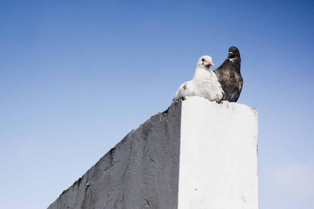 black and white pigeons on concrete wall