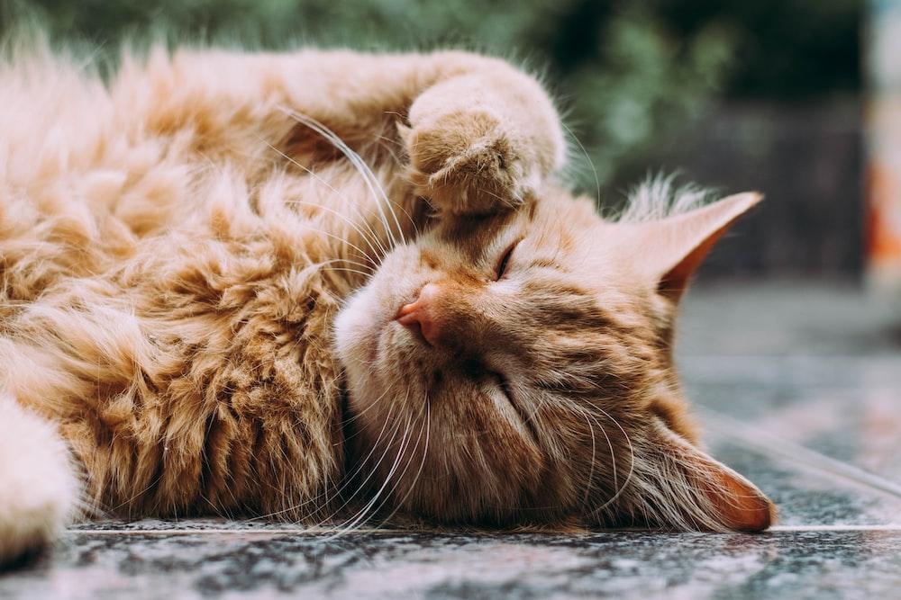 orange Persian cat sleeping