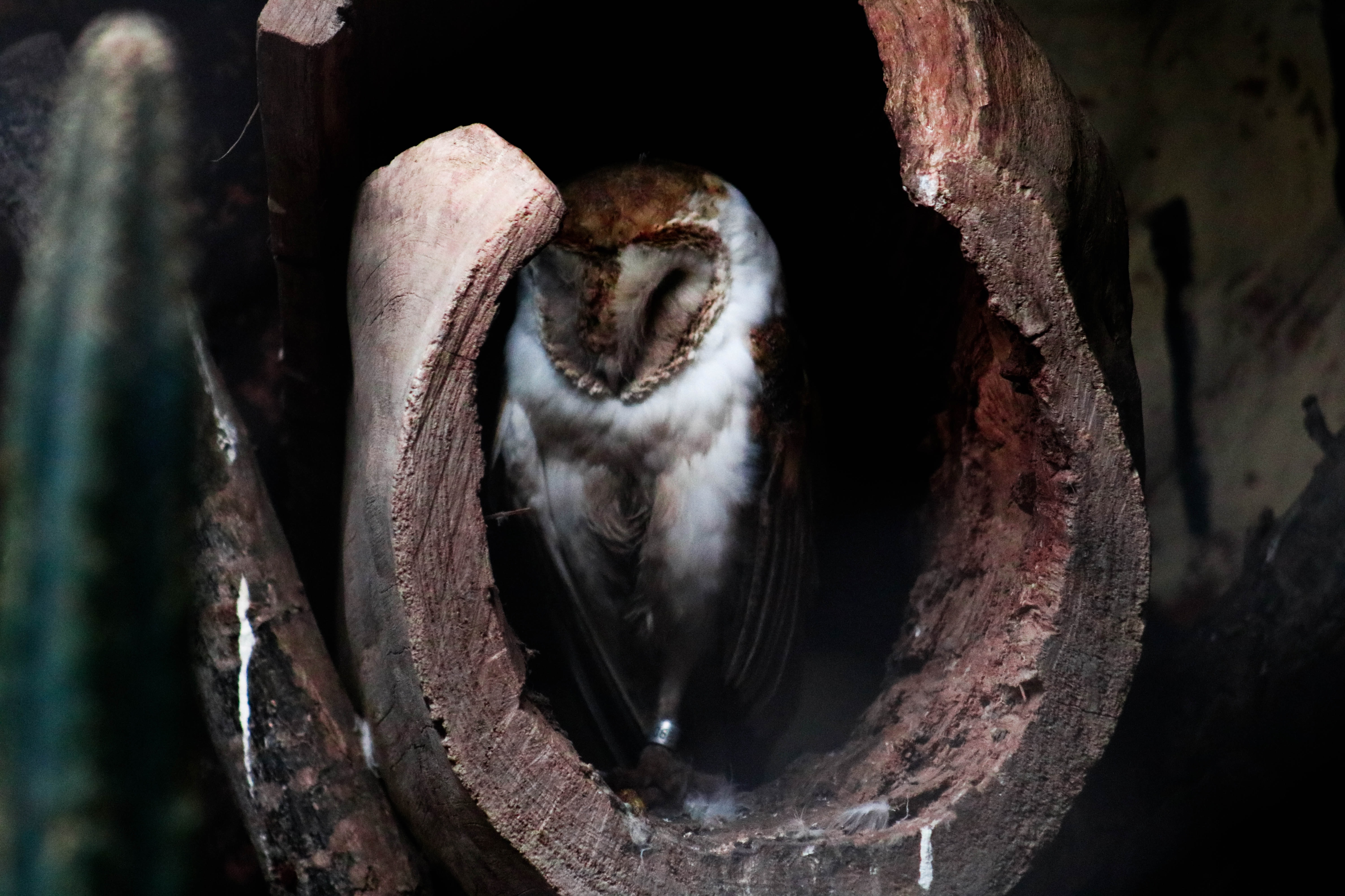 white and brown owl inside wood closeup photography