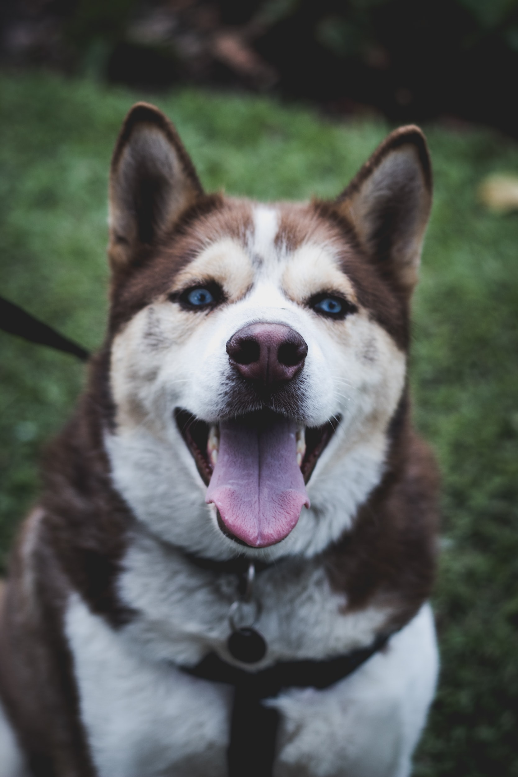adult brown-and-white Siberian Husky during daytime
