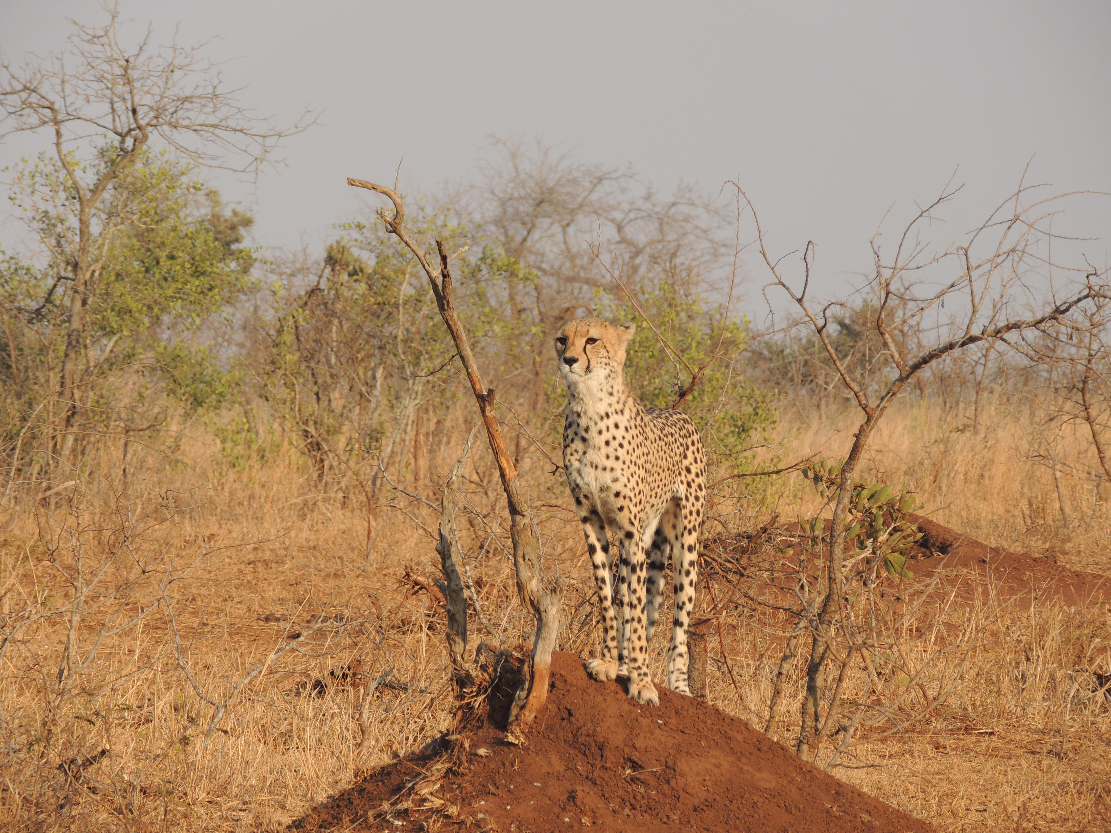 cheetah standing on brown soil