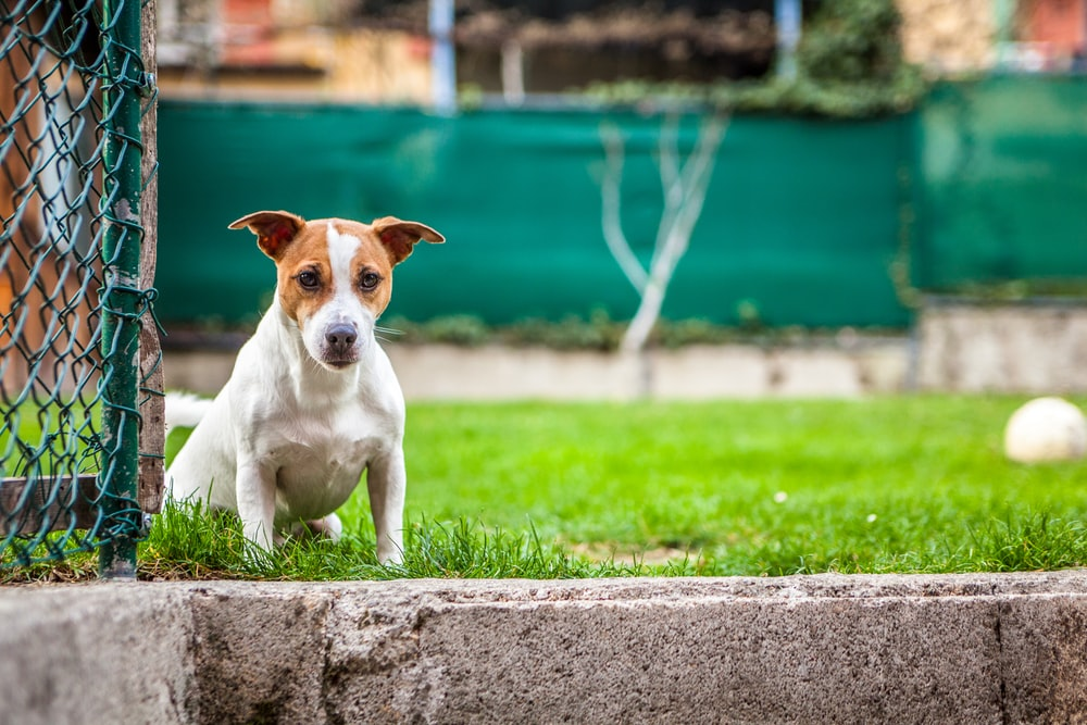 white and brown dog sitting on grass field