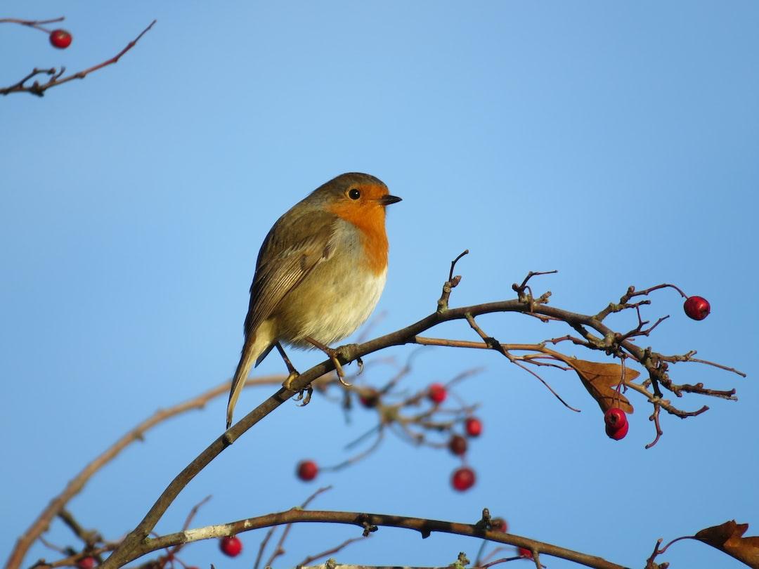 Robin  at  Dawn