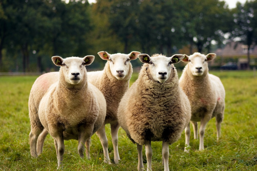 four lambs on ground