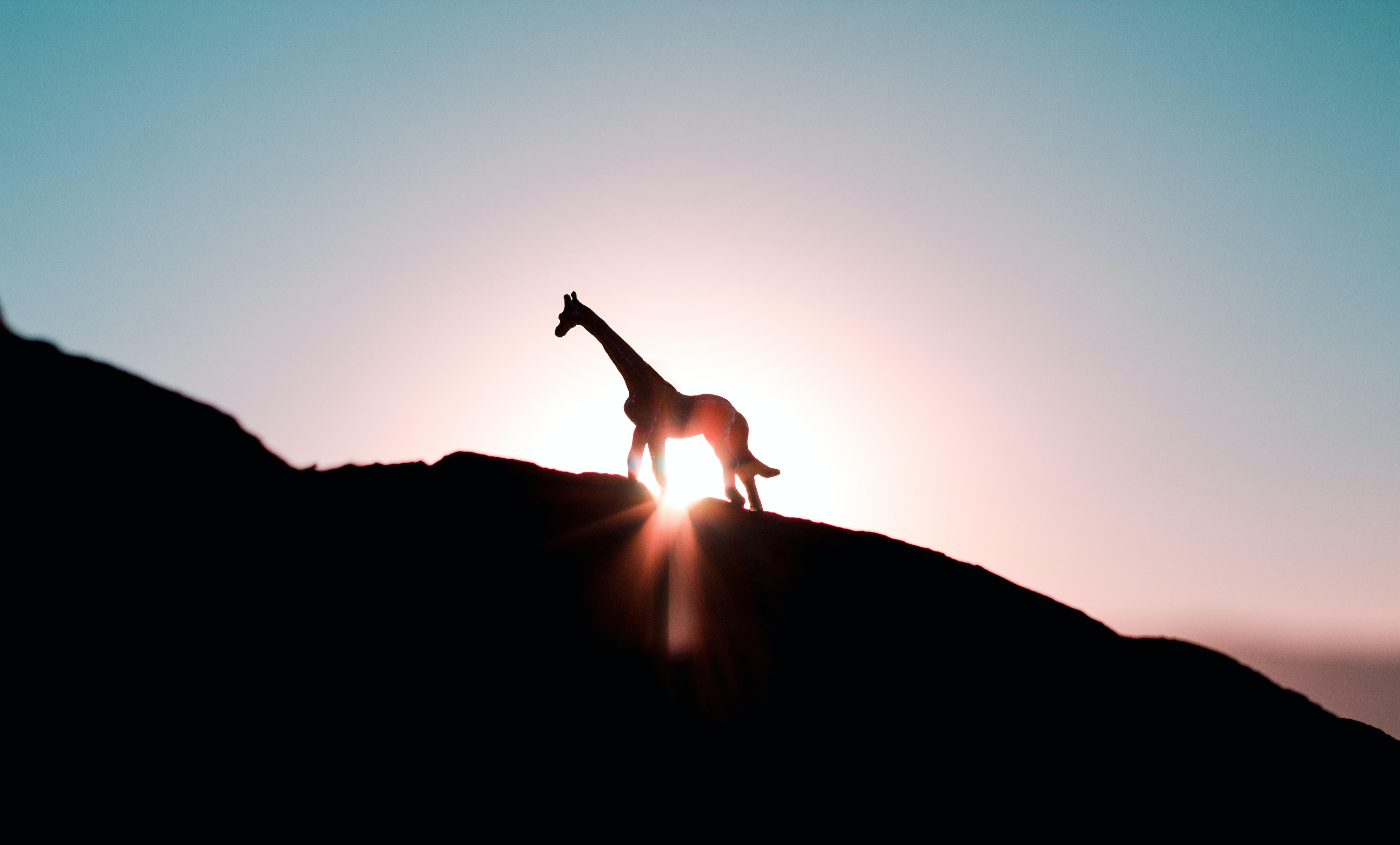silhouette photo of giraffe during golden hour