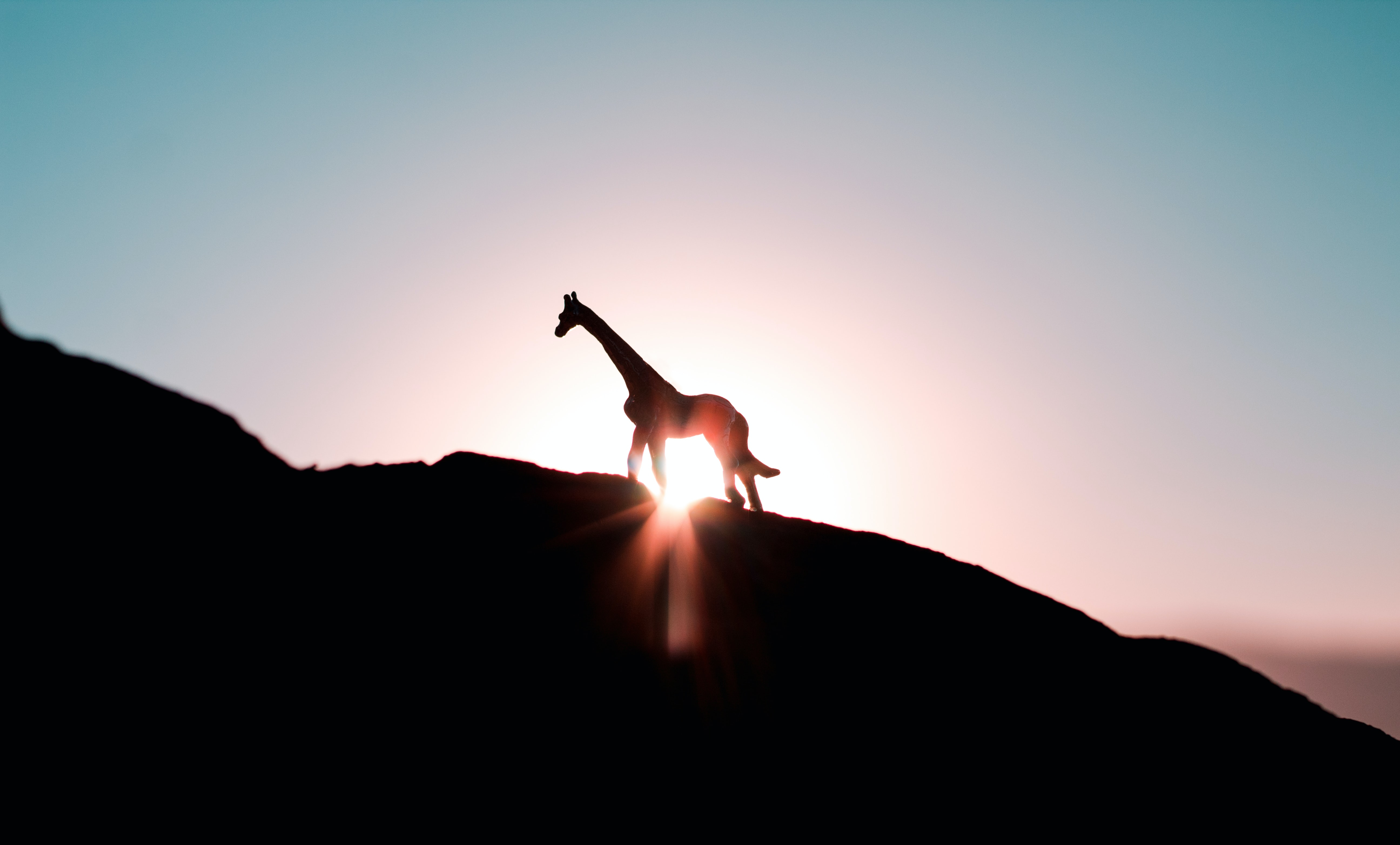silhouette photo of giraffe during golden hour