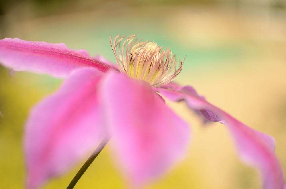 macroshot photography of pink flower