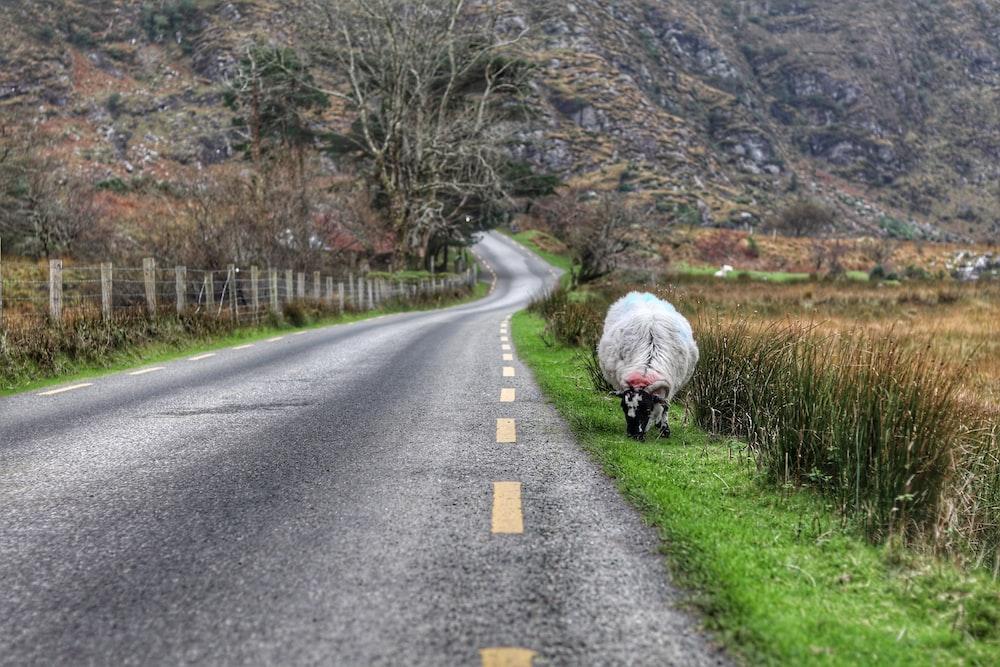 sheep near highway