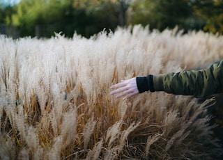 person walking near wheat field