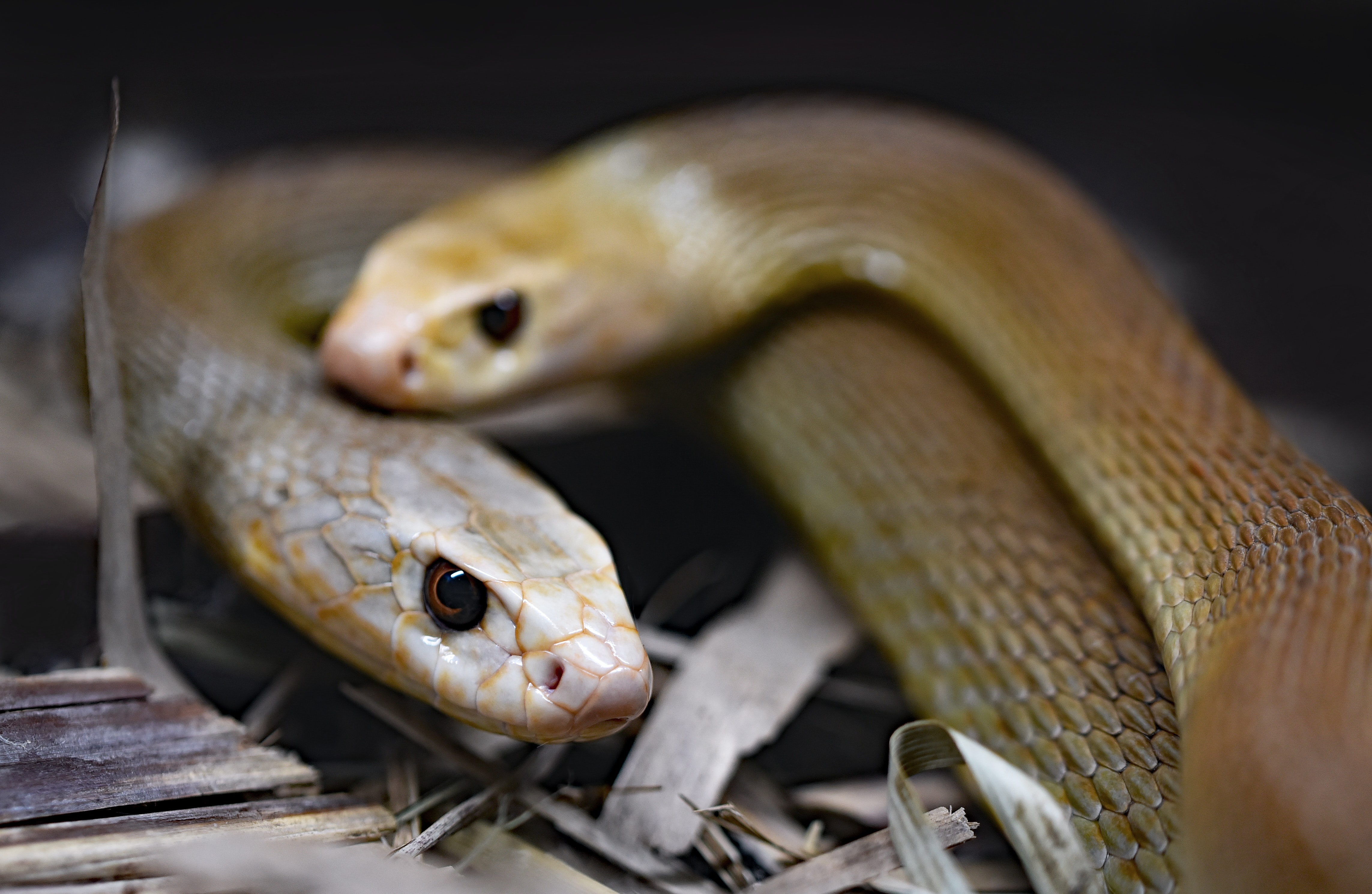 two brown snakes