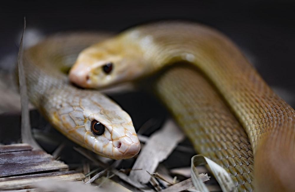 hawaii brown snakes - 1000×652