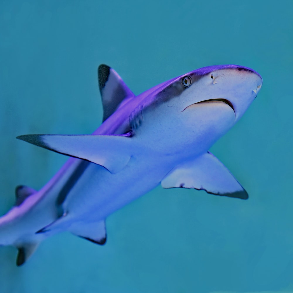 photo of gray and white shark